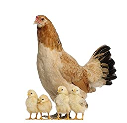 Wallmonkeys WM86467 Hen with Its Chicks against White Background Peel and Stick Wall Decals (18 in W x 17 in H)