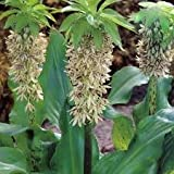 Eucomis Comosa Bicolor Pineapple Lily 2 Seeds