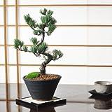 特選五葉松の盆栽 父の日の贈り物