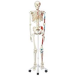 3B Scientific A11 Plastic Muscle Skeleton Model \
