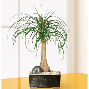 Ponytail Palm Bonsai Tree Mother's Day Gift