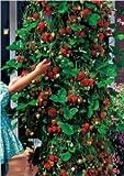Klattern Erdbeere 10 Samen