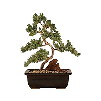 Bonsaiboy Juniper Karate Kid Bonsai Tree Medium Juniper Procumbens Nana Maraboundspamala