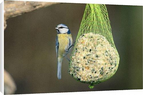 Blue Tit on a suet feeder