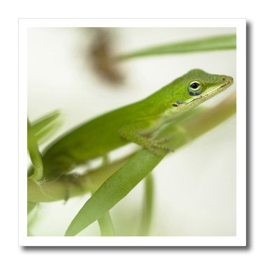 3Drose Ht_94194_2 Male Green Anole Lizard, Talahassee, Fl-Joe And Mary Ann Mcdonald-Iron On Heat Transfer For White Material, 6 By 6-Inch