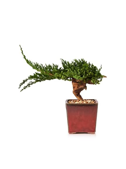 Forever Green Art Kengai Bonsai
