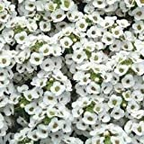 Alyssum - Clear Crystal White - 150 Seeds