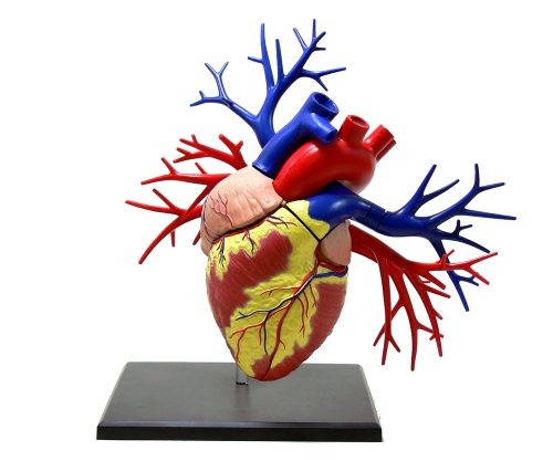スカイネット 立体パズル 4D VISION 人体解剖 No.19 DX心臓解剖モデル