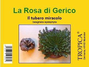 TROPICA - Rosa di Gerico (Selaginella lepidophylla) - piccole dimensioni - tuberi - 5 pezzi