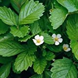 Suffolk Herbs Pictorial Pack - Alpine Strawberry - Fragaria vesca