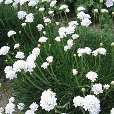 South Eastern Horticultural Pack X6 Thrift Armeria Maritima Alba White Perennial Plug Plants
