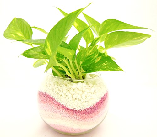 ミニ観葉 植物 ゴールデンポトス ハイドロカルチャー ピンク ガラス植え ボウルS
