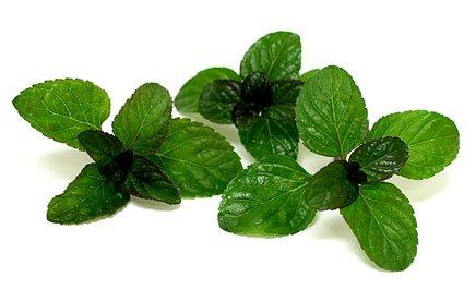 Green Tea Seeds