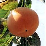柿(カキ):太秋(たいしゅう)4号ポット[甘柿]