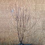 ハナミズキ ステラピンク 株立ち 樹高1.6~1.8m前後