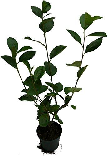 apfelbeere-nero-pflanze-aronia-melanocarpa-robuste-plantagensorte