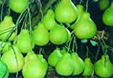 SD0513 Citron Seeds, Citrus Medica Seeds, Lemon Fragrant Sour Fruit Seeds (10 Seeds)