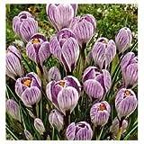 'Pickwick' Large Spring Flowering Crocus - King of the Striped x 50 Bulbs - Free UK P & P