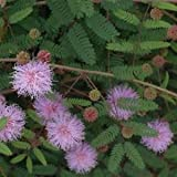 Indian Gardening Rare Touch Sensitive Plant Seeds Mimosa Pudica 10 Finest Seeds