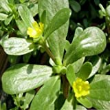Outsidepride Purslane - 5000 Seeds