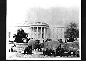History of the domestic sheep