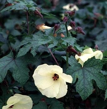Buy Edible Sunset Hibiscus 10 Seeds – Abelmoschus-Perennial – FREE SHIPPING ON ADDITIONAL HIRTS SEEDS