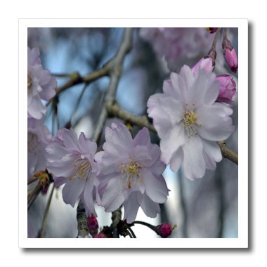 WhiteOak Photography Floral Prints - Cherry Blossom Tree - 8x8 Iron on Heat Transfer for White Material (ht_45340_1)