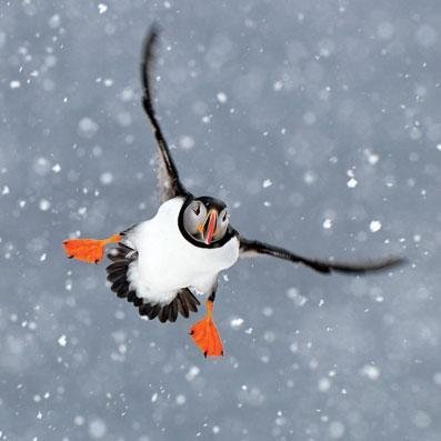 Charity Christmas cards - Puffin in the Snow - 8 charity cards sold in support of the British Red Cross