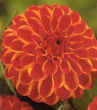 Buy Jescot Lingold Giant Dahlia Tuber – Dark Red with Yellow Edges