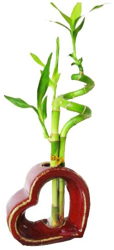 Set of 2 Live Spiral 3 Style Lucky Bamboo Plant Arrangement withHeart Shape Ceramic Vase