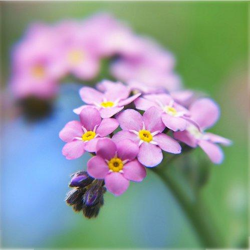 "150 Seeds, Forget-Me-Not ""Rose"" (Myosotis alpestris) Seeds by Seed Needs"