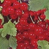 Johannisbeere 'Red Lake' - Ribes rubrum 'Red Lake' 40-60 cm