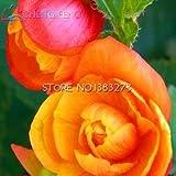 発売中!!!盆栽ホーム*ガーデンフロール鉢植え空気浄化の花のために12種類の100pcsベゴニアの種子レアFower種子