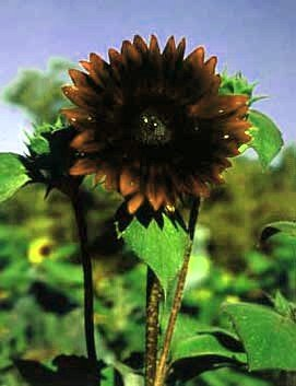 Chocolate Sunflower 20 Seeds - Unique - Spectacular