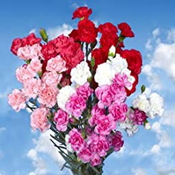 300 Fresh Cut Valentine\'s Spray Carnations | Fresh Flowers Express Delivery | Perfect Valentine\'s Day Gift