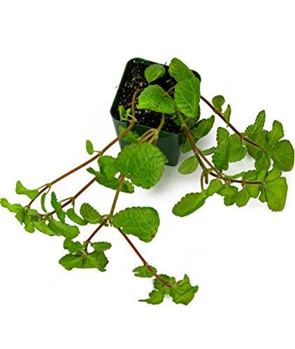 pilea-nummulariifolia-creeping-charlie