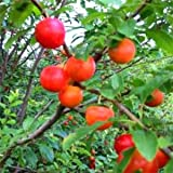 カルシウムの木(赤実)3.5号ポット[カルシウムを多く含む珍しい果樹][苗木]