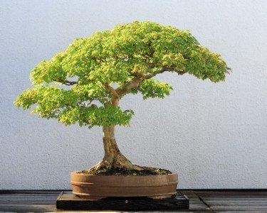 dreispitz-ahorn-kleine-blatter-10-samen-acer-burgeranumperfekt-fur-bonsai-trident