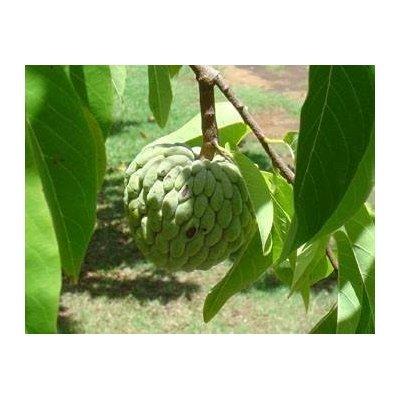 Seeds and Things Sugar Apple Tree 8+ Seeds - Annona Squamosa - Bonsai