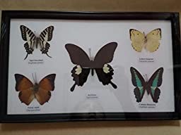 REAL 5 MIX BUTTERFLIES Collection Taxidermy Framed