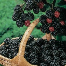 Triple Crown Blackberry Plant