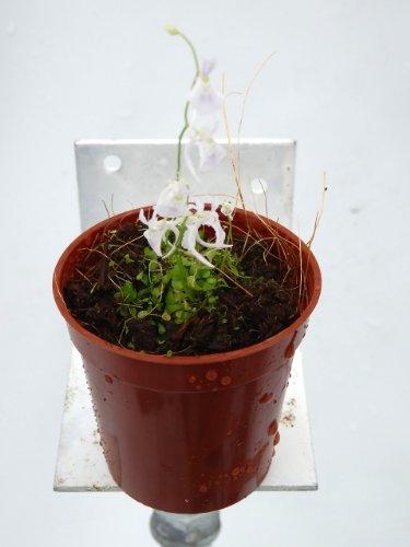 食虫植物 Utricularia sandersonii white(ウトリクラリア サンダーソニー)