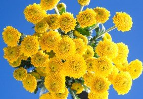 Pom Poms Assorted Yellow Button 144 Flowers