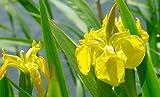 Yellow Flag Iris 15 Seeds-Iris pseudacorus-Aquatic