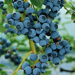 blueberry-bluecrop-fruit-bush-reliable-and-heavy-cropping-mid-season-variety-with-large-fruit-ideal-