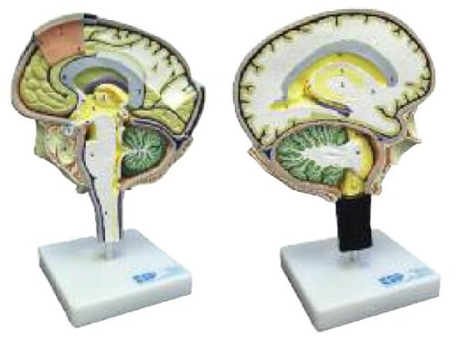 Education Scientific Products - Brain Section