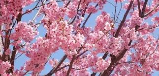 malee-grow-rare-japanese-sakura-seeds-cherry-blossom-seeds-bonsai-plants-for-home-garden-10-kinds-of