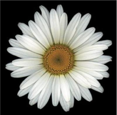 Shasta Daisy: 450 Seeds (Fresh & Untreated, Perennial)
