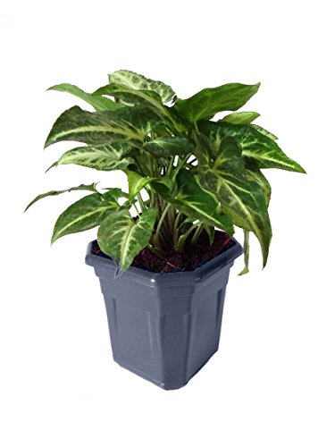 Rolling Nature Syngonium Green in Blue Hexa Pot
