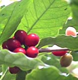 Hirt's Arabica Coffee Bean Plant - 4